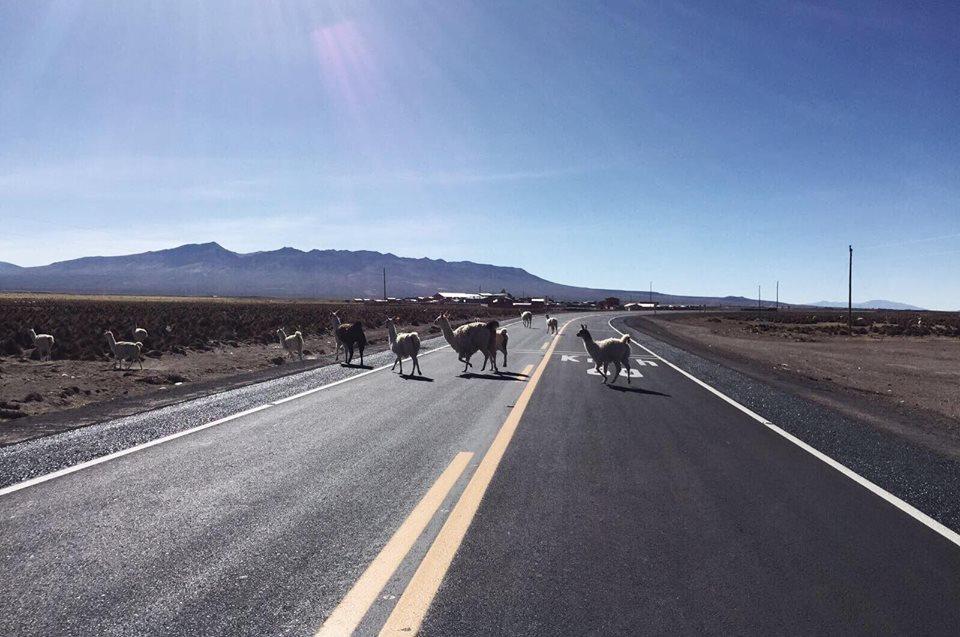 Lamas sur la route voyage vélo Pérou